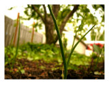 Onion Sets Fotodruck von Jean Ann Van Krevelen