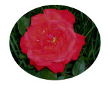 Bright Red Rose Photographic Print by Darlene Navor