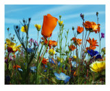California Prarie Floral Mix Photographic Print by Robert Sicotte