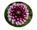 Mysterious Dahlia 2 Photographic Print by Darlene Navor