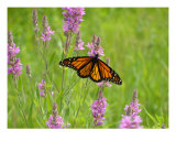 Monarch Photographic Print by Michael Dalton