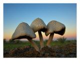 Three Mushrooms Photographic Print by Matthew Watrous