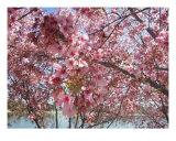 Cherry Blossoms 3 Photographic Print by Lynn C Johnston