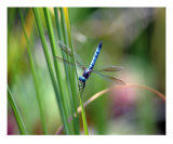 Blue Dragon Fly Photographic Print by Bernadette Mangione