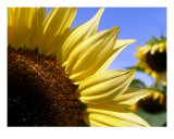 Sunflower Square Photographic Print by Michael Dalton
