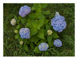 Blue Hydrangeas - 1 Photographic Print by Darlene Navor