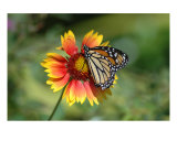Monarch On Gaillardia 2 Photographic Print by Donna Adamski