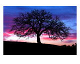 Oak Silhouette Photographic Print by Paul Huchton
