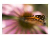 Pink Dream With Monarch Butterfly Wings Photographic Print by Kim Riddle
