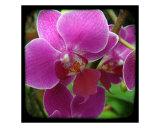 Orchid Purple Fotodruck von Francisco Valente