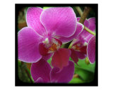 Orchid Purple Photographic Print by Francisco Valente