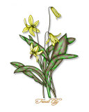 Trout Lily Photographic Print by Drew Horne