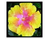 Hibiscus Yellow & Pink Photographic Print by Francisco Valente