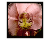 Pink & Yellow Orchid Photographic Print by Francisco Valente