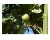 Green Tomatoes Photographic Print by Allyson Ricketts