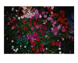 Blushing Petunia Mix Photographic Print by Darlene Navor