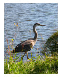 A Heron Photographic Print by Rae Anne Lawrason