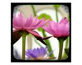 Sacred Lotus Fotografie-Druck von Francisco Valente