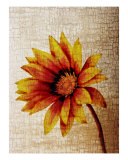 Gazania Photographic Print by Rosemary Scott