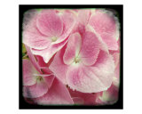 Hydrangea Pink Photographic Print by Francisco Valente