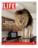 14-year-old Sinbad the Lion Standing on Counter in Owner&#39;s Las Vegas Kitchen, August 5, 2005 Photographic Print by Marc Joseph