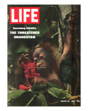 Vanishing Wildlife: The Threatened Orangutan, March 28, 1969 Photographic Print by Co Rentmeester