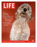 Sadie, 1 Year Old Goldendoodle, October 8, 2004 Premium Photographic Print by Jeff Minton