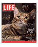Sumatra, an 11-Month-Old Champion Toyger, February 23, 2007 Photographic Print by Roe Ethridge