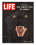 The Great Cats of Africa, Black Leopard, January 6, 1967 Photographic Print by John Dominis