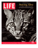 Endangered Ocelot Felis Pardalis, April 21, 2006 Photographic Print by  Middleton & Littschwager