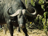 Angry Buffalo of Botswana's Chobe National Park Warns to Stay Back Photographic Print by Daniel Dietrich