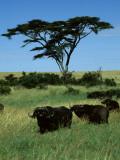 Masai Mara Male and Female Cape Buffalo Look on under an Acacia Tree Photographic Print by Daniel Dietrich