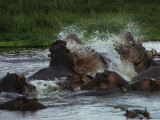 Fighting Hippos Thrash the Water During a Confrontation in a Water Hole, Serengeti National Park Photographic Print by Daniel Dietrich