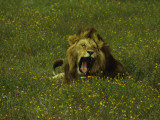 Yawning Male Lion Amongst Yellow Flowers in the Ngorongoro Crater, Tanzania Photographic Print by Daniel Dietrich