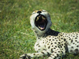 Resting Cheetah Yawns, Exposing His Sharp Teeth While Napping, Plains of Masai Mara National Park Photographic Print by Daniel Dietrich