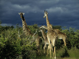 Storm Quickly Approaches a Grazing Herd of Masai Mara Giraffe Photographic Print by Daniel Dietrich