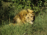 Awaking Male Lion of Masai Mara National Park, Kenya, Africa Photographic Print by Daniel Dietrich