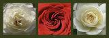 Roses II Affiche par Laurent Pinsard