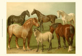 Horse Breeds II Prints by Emil Volkers