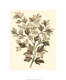 Sepia Munting Foliage I Premium Giclee Print by Abraham Munting