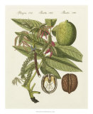 Walnut Giclee Print by  Bertuch