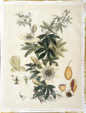 Miller's Bounty IV Giclee Print by  John Miller (Johann Sebastien Mueller)