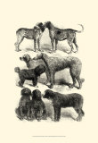 International Show Dogs I, c.1863 Print by Harrison Weir