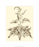 Sepia Munting Foliage II Giclee Print by Abraham Munting