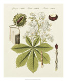 Horse Chestnut Giclee Print by  Bertuch