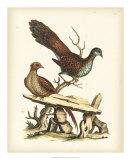 Regal Pheasants I Giclee Print by George Edwards