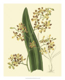 Antique Orchid Study II Print by Syndenham Edwards