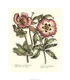Framboise Floral IV Premium Giclee Print by Syndenham Edwards