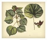 Sir Hans Sloane - Antique Mangrove Tree Digitálně vytištěná reprodukce