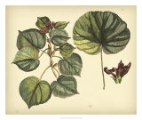Antique Mangrove Tree Prints by Sir Hans Sloane